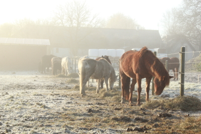 horses in frost